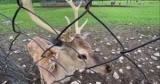 Объединяемся с природой: где в Украине можно пообщаться с пятнистыми оленями